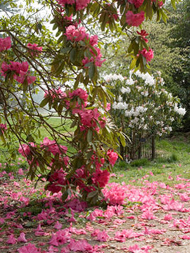 Westonbirt, Rhododendrons